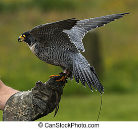 Peregrine Falcon - Close up of a Peregrine Falcon on a...