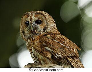 Tawny Owl - Portrait of a Tawny Owl