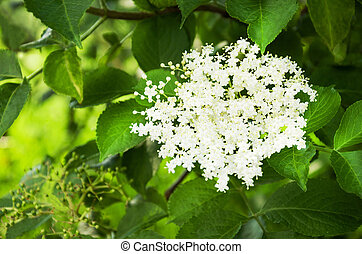Sprig of sambucus. - Sprig and flower of sambucus with green...