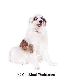 Mixed breed dog on white - Mixed breed dog isolated on white...
