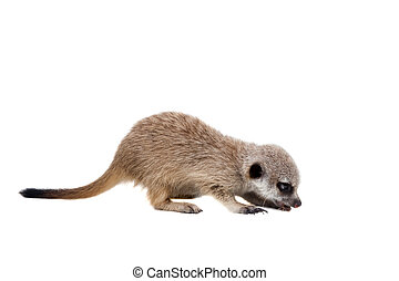 The meerkat or suricate cub, Suricata suricatta, isolated on...