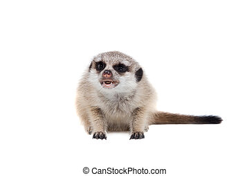 The meerkat or suricate cub, 2 month old, on white - The...