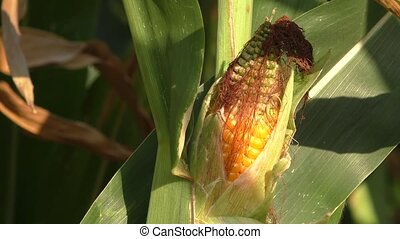 Corn field, corn on the cob
