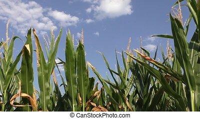 Green corn field in the summer sun