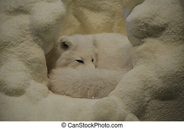 Sweet White Arctic Fox Curled Up - Curled up arctic fox in a...