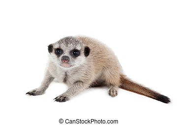 The meerkat or suricate cub, Suricata suricatta