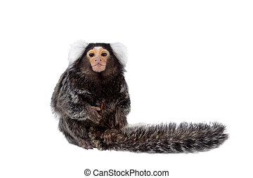 el, común, mono tití, en, blanco