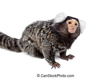 The common marmoset on white - The common marmoset,...