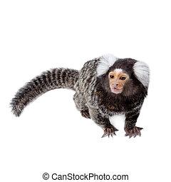 The common marmoset on white - The common marmoset,...