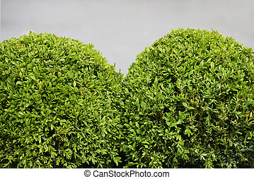 spherical boxwood shrubs on a gray background