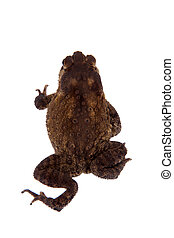 Bony-headed toad isolated on white - The bony-headed toad,...