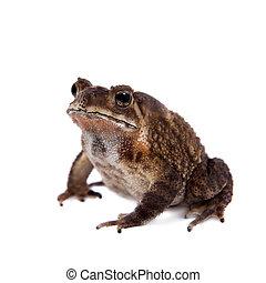 Bony-headed toad isolated on white - The bony-headed toad,...