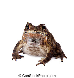 Bony-headed toad isolated - The bony-headed toad,...
