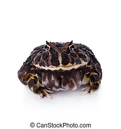 The Argentine horned frog on white - The Argentine horned...