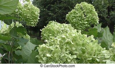 Green Hydrangea flower background