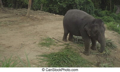 Elephant eating palm leaves - Top view of an elephant eating...