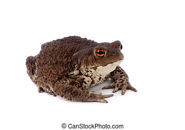 Common or European toad on white - Bufo bufo Common or...