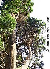 The tree in Croatia