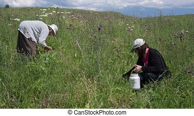 Gathering wild strawberry - Two women gather wild strawberry...