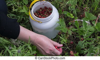 Gathering wild strawberry - the woman gathers wild...