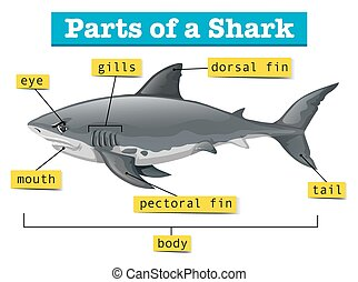 Diagram showing parts of shark illustration