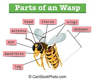Anatomy of wasp with words illustration
