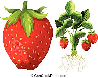 Strawberry and strawberry plant illustration