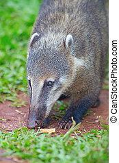 Coati, (Nasua, nasua)