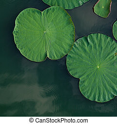 Peaceful and calm concept . Composition of Green lotus...