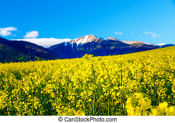 Beautiful yellow flower oilseed rape with mountain in background.
