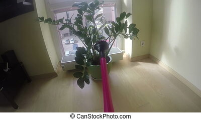 Money tree plant water with red watering can near window. 4K...