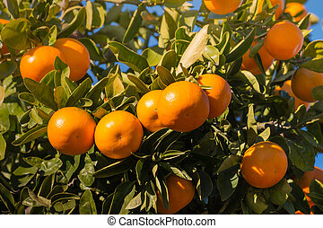 satsumas ripening on tree - closeup of satsumas ripening on...