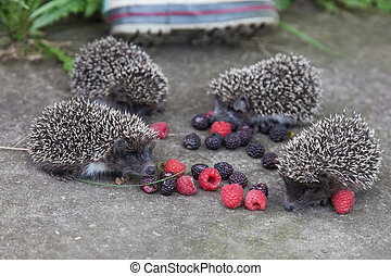 Photo of young hedgehog closeup - Photo of young hedgehogs...