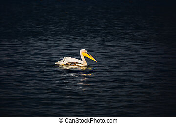 Great pelican floating in the dark water of the lake Hula...