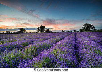 Lavender Sunrise - Sunrise over a field of Lavender growing...