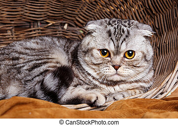 bicolor stripes cat with yellow eyes Scottish Fold Sits in a...