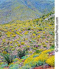 California desert - Spring in desert, Anza- Borego,...