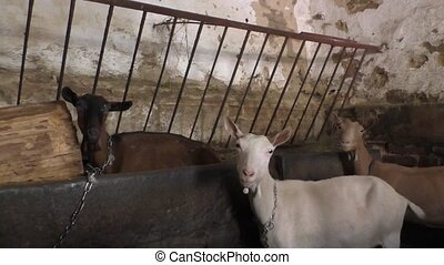 Three goats in the barn