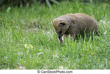 mongoose Herpestidae eating prey on green grass outdoors