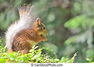 Cute squirrel eating a nut