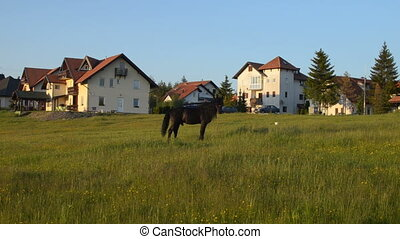 Black Stallion is Grazing in a Field - Black stallion...