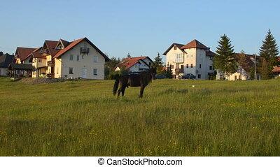Black Stallion is Grazing in a Field - Black stallion...