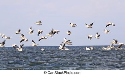 Pink pelicans flying - A large flock of pelicans pink flying...