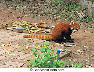 Red panda in park of Chengdu, China