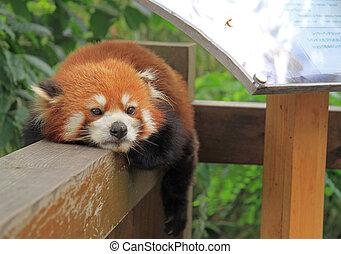Red panda in park of Chengdu, China