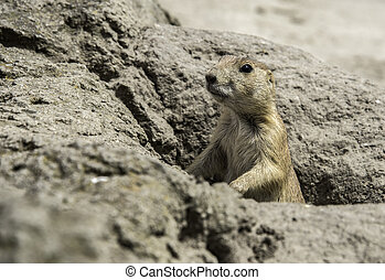 young prairie dog from hole in the ground - young prairiedog...