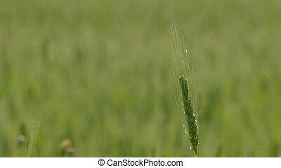 Wheat Ear As Symbol Of Fertility - CLOSE UP Lonely green...