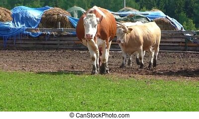Cows in corral on cattle ranch