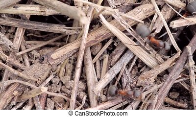 building anthill close up - entrance an anthill ants working...