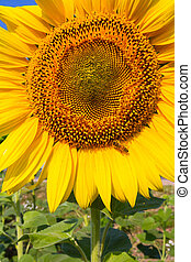Sunflowers on the field ripen during the summer